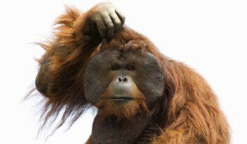iStock 000003420564Large chimp resized
